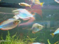 Любимые домашние питомцы, экзотические рыбки в аквариуме.flv